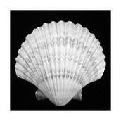 Scallop Shell