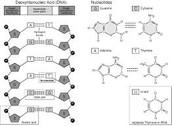 3 Nucleotides