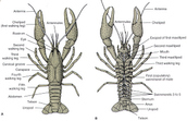 Integumentary System- Crayfish/ External Anatomy