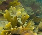 Beneficios y perjuicios de las Algas