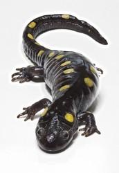 The slickest salamander ----------->