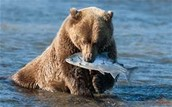 lots bear