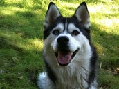 about siberian husky