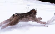 Lynx and Snow Hare