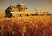 Traditional Wheat Reaping Combine