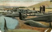 Whales In The New England Colonies