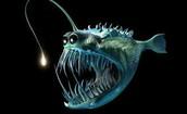 Are Angler Fish Dangerous