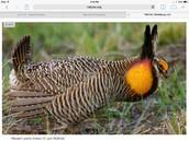 Attwaters prairie chicken