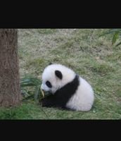 The diet of the Giant Panda