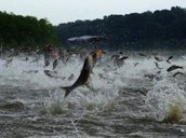 Asian Carp in the Midwest