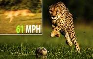 Its the World's Fastest Land Animals Ever!