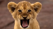 We're going to the zoo on April 15 ...I'm not LION!