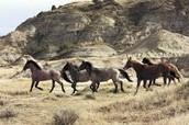 Nakota Horses
