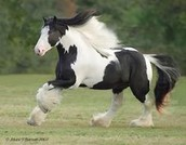 A black and white horse enjoying the field