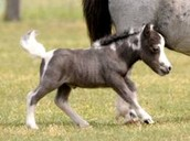 This a picture of a minature horse