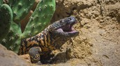 Jerry the Gila Monster