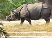 Javan Rhinosaures