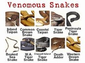 venomas australian snakes