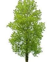 Aspen Poplar Tree