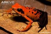 silverstone poison frog