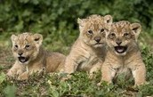 How are Lions born?