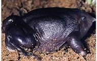 Purple Burrowing frog