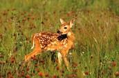 fawn [baby deer]