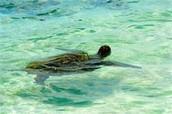 A Beautiful Green Sea Turtle