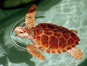 Why the Logger Head Turtle is Endangered