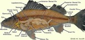 The Internal Anatomy of a Perch