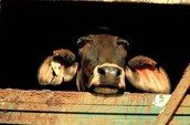 The Live Animal Export Trade ~