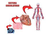 Sistema circulatorio del ser humano.