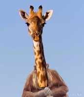 The morrafe's neck when it is extended!
