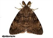 Male Gypsy Moth.