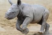 A baby Javan Rhino