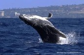 a blue whale jumping