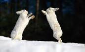 Snow Rabbits