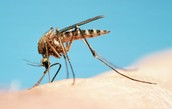 This is a female mosquito its how you can get Malaria