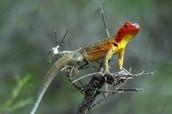 The female Galapagos lava lizard.