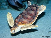 What is a logger head sea turtle