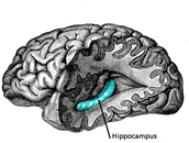 The hippocampus stores longterm memory!