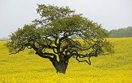 Oak tree symbol