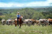 Early ranchers use the open range