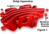About the Golgi Apparatus