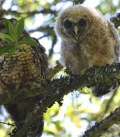 Northern Spotted Owls Have a Strong Year