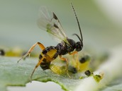 What is the parasitic wasp and how is it born?