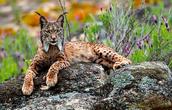 Lynx Wild Cats