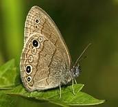 The Saint Francis' Satyr Butterfly