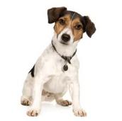 כלב מסוג ג'ק ראסל