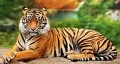 Bengal Tiger: Endangered